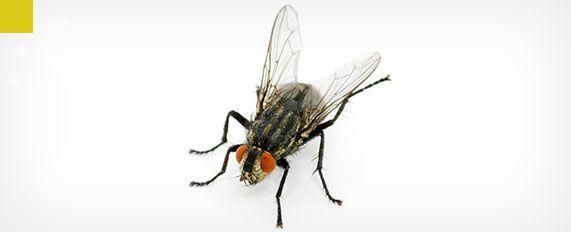 Interplaga - mosca