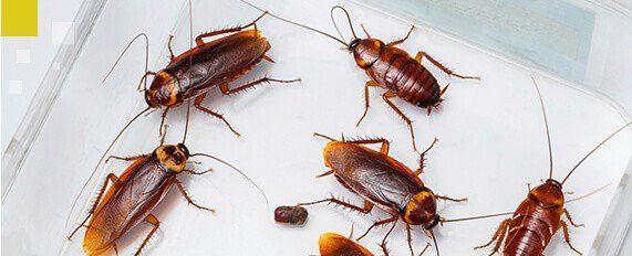 Interplaga - cucarachas